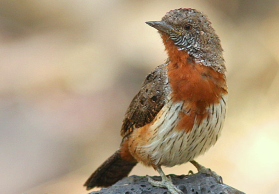 Red Throated Wryneck
